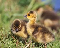 ducks identification