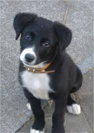 lab border collie mix puppies
