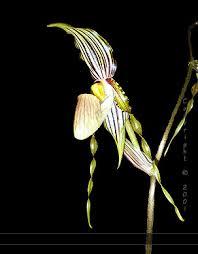 paphiopedilum praestans