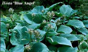 hosta blue angel