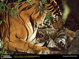 national geographic tiger