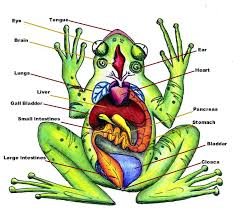 diagram of the inside of a frog