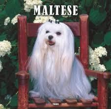 maltese teacup dog