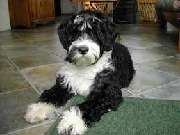 portuguese water dog pup