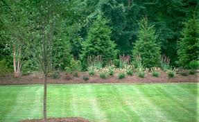 evergreen trees pictures