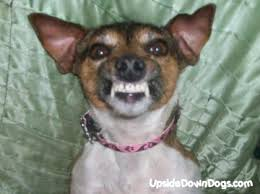 pictures of jack russell dogs