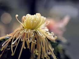 china chrysanthemum