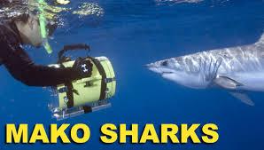 mako shark pictures