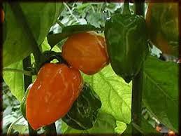 peppers garden