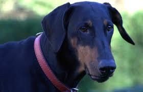 dog breeds doberman