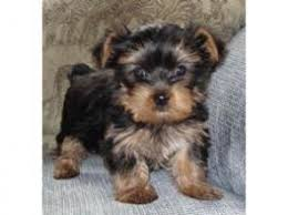 cute yorkie pictures