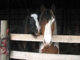 gypsy foals