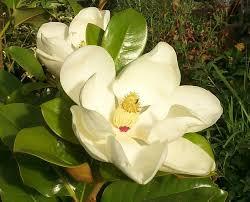 magnolia tree varieties