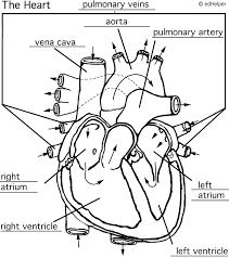 circulatory system worksheets
