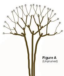 grape myrtle tree