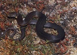 copperhead snake photo
