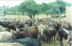 livestock photos