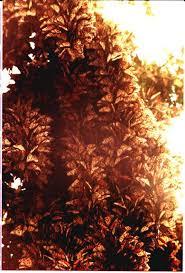 monarch butterfly tree
