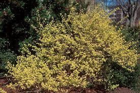 gold plant