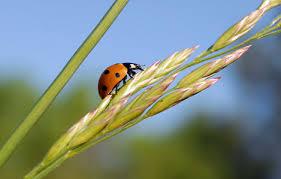 ladybugs species