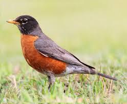 robins birds