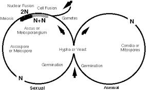candida life cycle