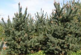 ornamental pine trees
