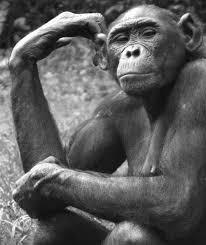 apes monkeys