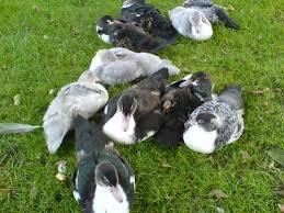 muscovy ducks photo