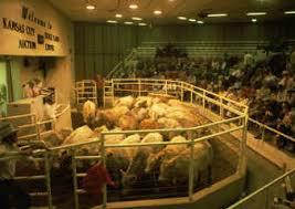 feeder cows