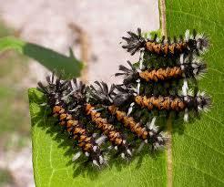 big caterpillars