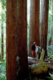 redwood tree photo