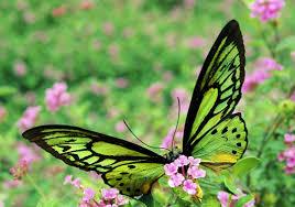 butterfly bugs