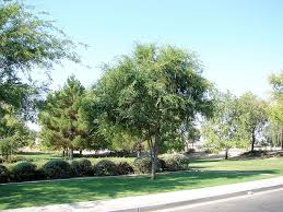 chinese elm trees
