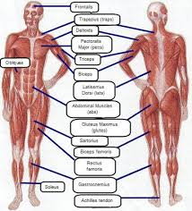 muscle groups of the human body