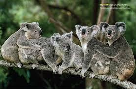 koala habitat