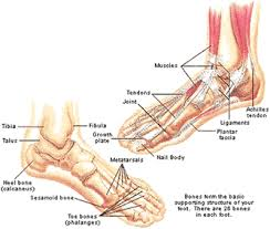 diagram of the human foot