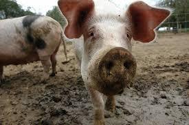 pigs farms