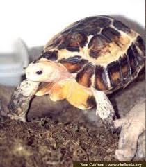 hingeback tortoise
