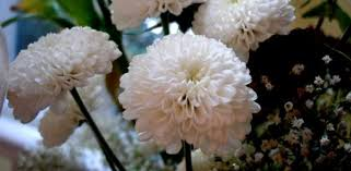 chrysanthemum types