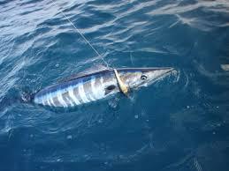 fishing tuna
