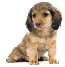 long haired dachshund breeder