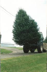huge christmas trees