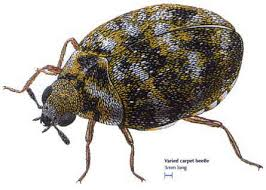 picture of carpet beetle