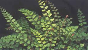 button fern