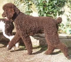 brown standard poodle puppies