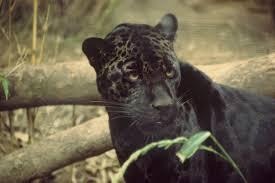 black jaguar pictures