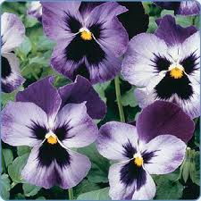 pansies pictures