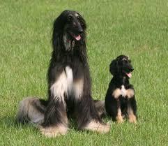 dog clone