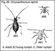cotton aphid